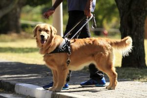 Guide Dog with Harness